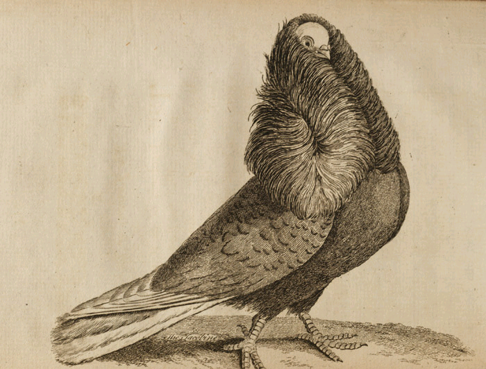Book of Pigeons (1765).